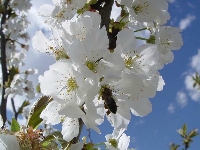 flor cereza